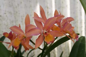 C. Caribbean 'Orange Bowl'
