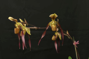 Paph. Bernice 'Orchid Specialist'