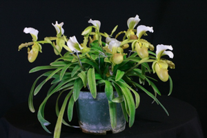 Paph. barbigerum