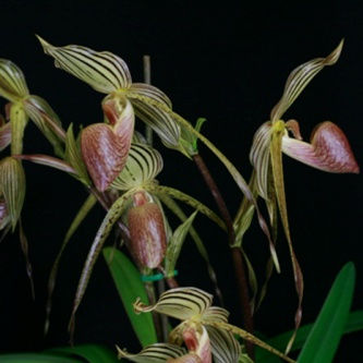 Paph. Lady Isabel