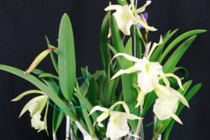 Courtney Hackney Orchid Growing Tips