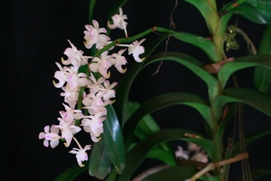 Other Vandaceous Orchids