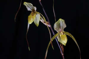 Paph. Saint Swithin
