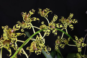 Cymbidium Relatives