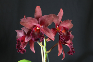 Pot. Miya's Fascination 'Odom's Wildfire' AM/AOS