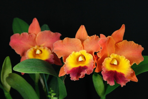 Other Orchid Growing Considerations