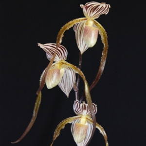 Paph. Krull's Magic Touch