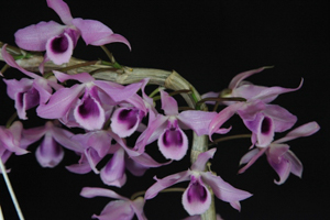 Den. Little Sweetscent