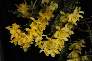 Den. Fancy Yellow