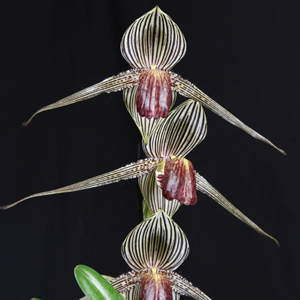 Paph. Chiu Hua Dancer