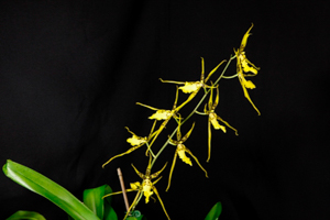 Brsdm. Shooting Star 'Black Gold'