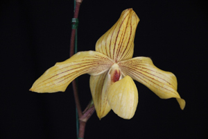 Paph. Dollgoldii