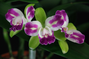 Blc. Magic Meadow