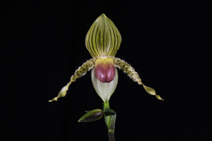 Paph. Prime Child 'Hackkneau'