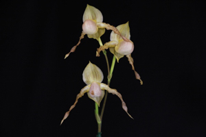 Paph. Mount Avalon