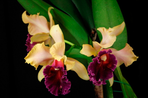 Blc. (Rlc.) Double Whammy