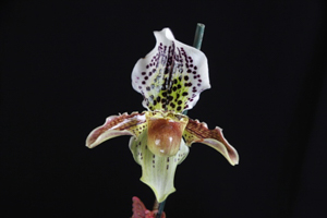 Paph. Raisin Pie