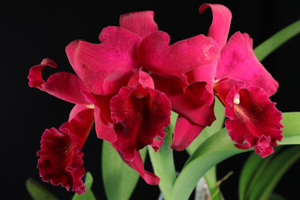 Pot. (Rlc.) Walnita Char 'Plum Red'
