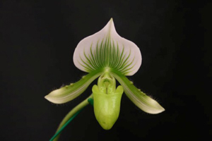 Paph. Maudiae 'The Queen'