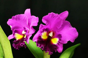 Blc. Always Dream 'Volcano Queen'