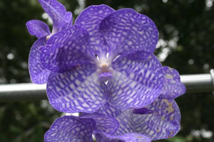 Orchid Cold Hardiness