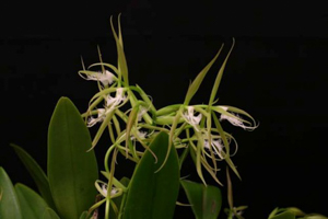 Encyclias and Epidendrums