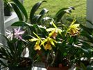 Growing Orchids in Backyard and Back Porch