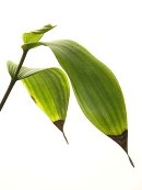 Salt Toxicity on Orchid Leaf - photo courtesy of the American Orchid Society