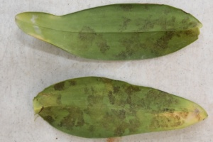 New Anthracnose on Lower Surface of Cattleya Leaf