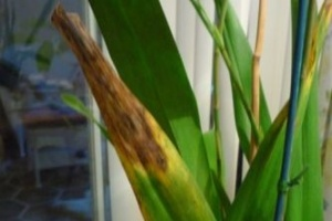 Anthracnose on Oncidium Orchid