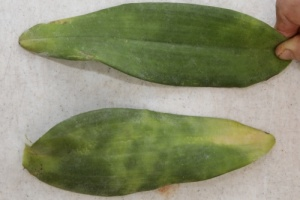New Anthracnose on Upper Surface of Cattleya Leaf