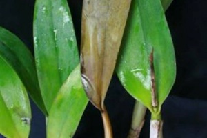 Black Rot on Cattleya Leaf and Pesudobulb