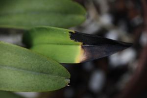 Black Leaf Tip Preceded by Yellow Halo