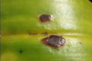 Edema Blister on Cattleya - photo courtesy of Robert Cating