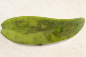 Cercosporoid Fungi on Cattleya Leaf