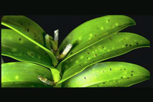 Phyllosticta on Dendrobium Leaf - photo courtesy of AOS