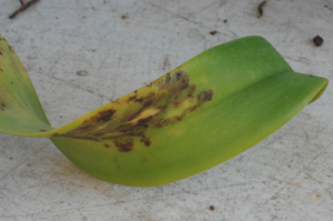 Cercospora on Cattleya Irregular Blotches