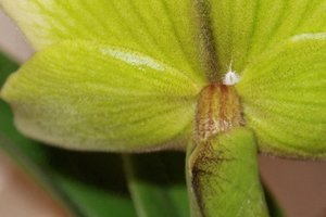 Mealybug on Back of Paphiopedilum Flower