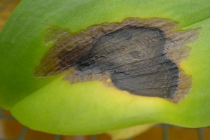Bacterial Brown Spot- photo courtesy of www.orchidplants.info