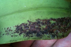 Sunken Spots on Cattleya Leaf