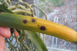 Brown Spot with Yellow Margin on Vanda Leaf