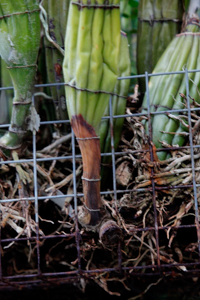 Brown Rot at Base of Cattleya