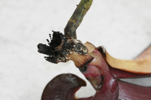 Southern Blight on Phalaenopsis Orchid