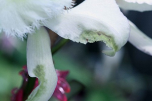 Water Soaked Edges on Cattleya Flower