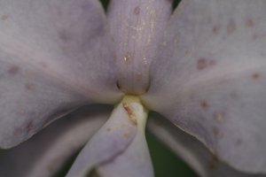 Thrips Mouth Parts Pierce Orchid Flower