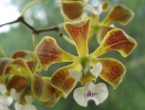 Encyclia Orchid - Enc. oncidioides