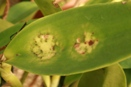 Cercospora Fungus on Cattleya Orchid Leaf