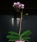 Phalaenopsis Orchid in Sphagnum Moss Before Repotting