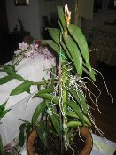 Dendrobium Orchid with Keiki