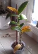 Dendrobium Leaves Yellowing and Dropping